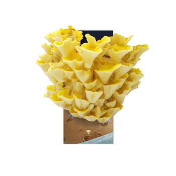 mofun小恶蘑 魔菇星球7天培养一株属于你的蘑菇创意盆栽黄金菇盆栽
