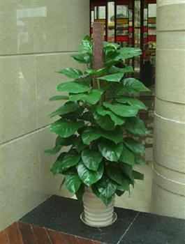 净化空气绿植1.5米大绿萝、大叶绿萝盆栽绿植